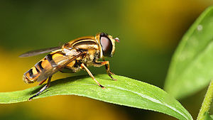 English: Species: (Helophilus intentus ) Curra...