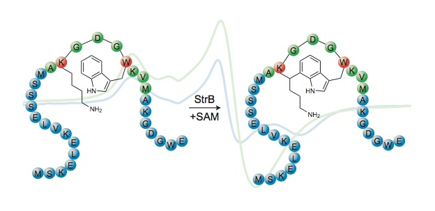 Streptide (Image source: Seyedsayamdost Lab)