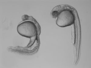 Two zebrafish embryos