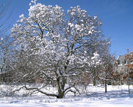 Snow-Magnolia.jpg