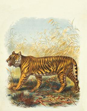 cotsen tiger.jpg