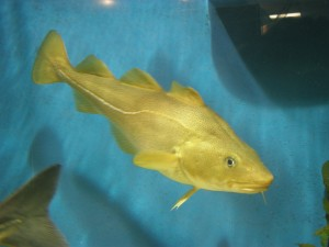 A study by Princeton researchers and European colleagues found that the positive effect that mortality can have on populations depends on the size and developmental stage of the creatures that die. The finding could aid the management of wildlife and fish such as the Atlantic cod (Image source: NOAA).