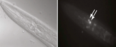 Long-term memory training in worms (left) led to induction of the transcription factor CREB in AIM neurons (shown by arrows in right). CREB-induced genes were shown to be involved in forming long-term memories in worm neurons. (Image source: Murphy lab)