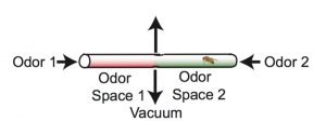 Flies experience two odor spaces in each tube. If neither odor has been paired with electric shock, flies spend an equal amount of time on both sides of the tube (control). If one of the odors is paired with electric shock, flies avoid that side of the tube - for example, flies trained to associate the odor 3-OCT with electric shock, avoid the red side (containing 3-OCT) of the tube. (Credit: Crocker, et al.)