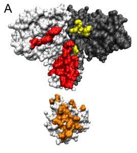 Protein-protein interaction